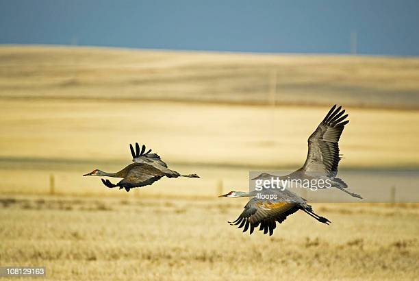 Three Sandhill Cranes Taking Flight From Field