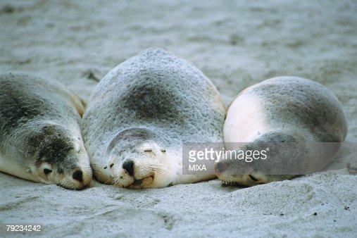 Three sea lions sleeping at beach : Stock Photo