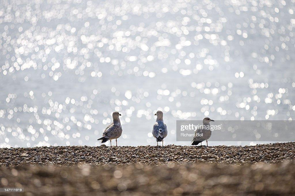 Three seagulls on a beach. : Stock Photo
