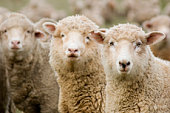 Three sheep (ewes) isolated within a mob all looking in the same direction (to the viewer).