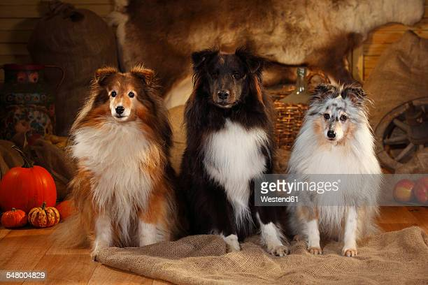 Three Shetland Sheepdogs sitting side by side in a barn