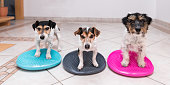three small dogs on balance pillows - Jack Russell Terrier doggies - left: broken hair 7 years old - middle: straight hair 11 years old - right: hair rough 3 years old
