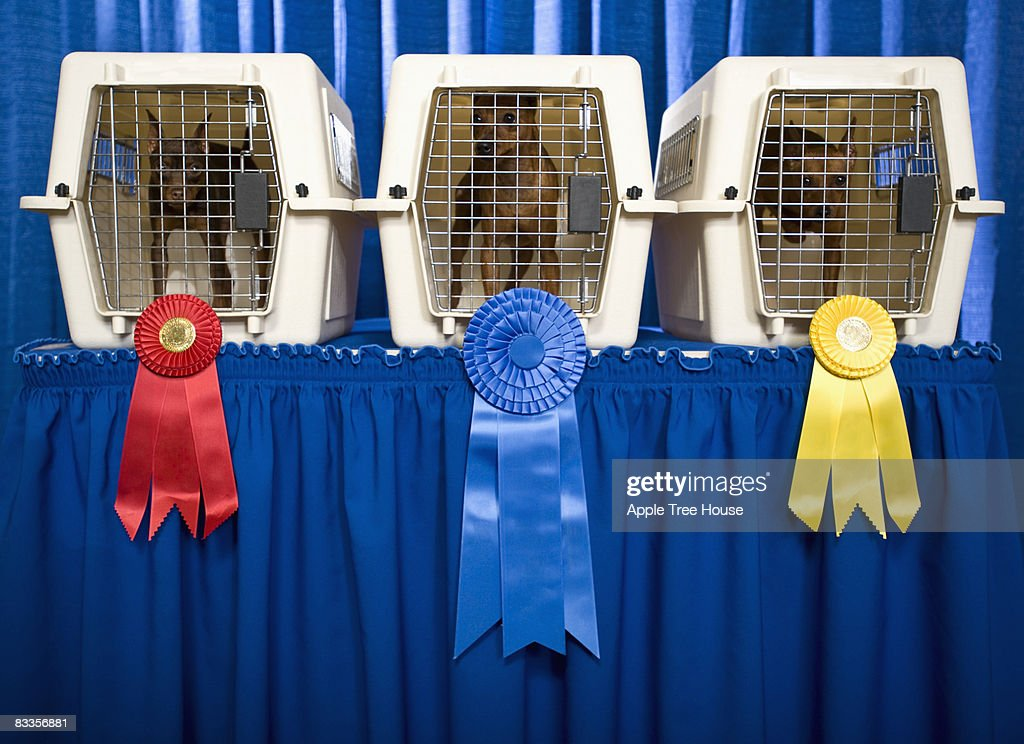 Three small dogs with winner's ribbons : Stock Photo