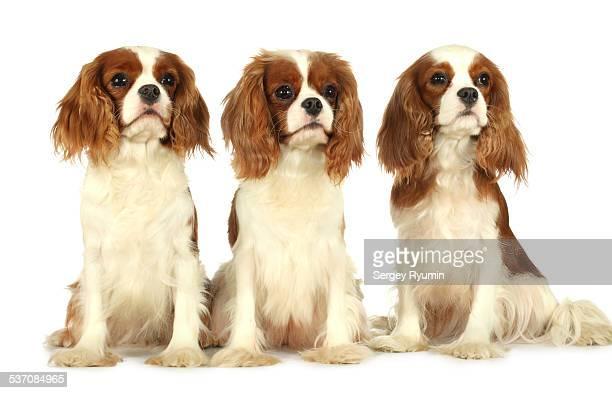 Three spaniels.