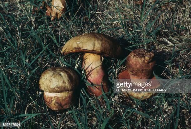 Three specimens of Satan's bolete or Devil's boletus Boletaceae