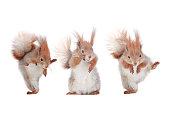 three squirrels with podnyaty paws isolated on white, studio shot