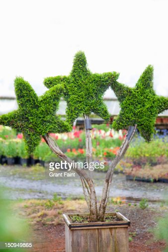 Three star-shaped plants in a planter