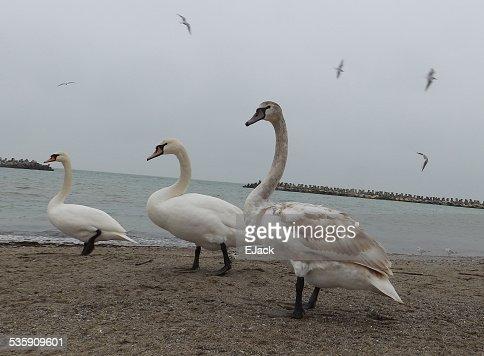 Tres cisnes en arena : Foto de stock
