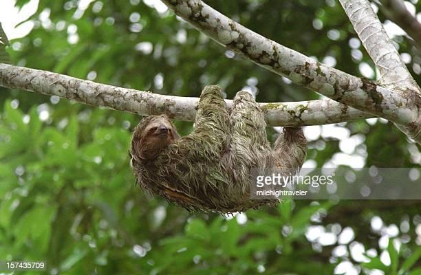 Bradipo tridattilo Salite in Costa Rica