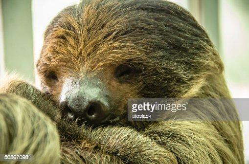 sloth no hair