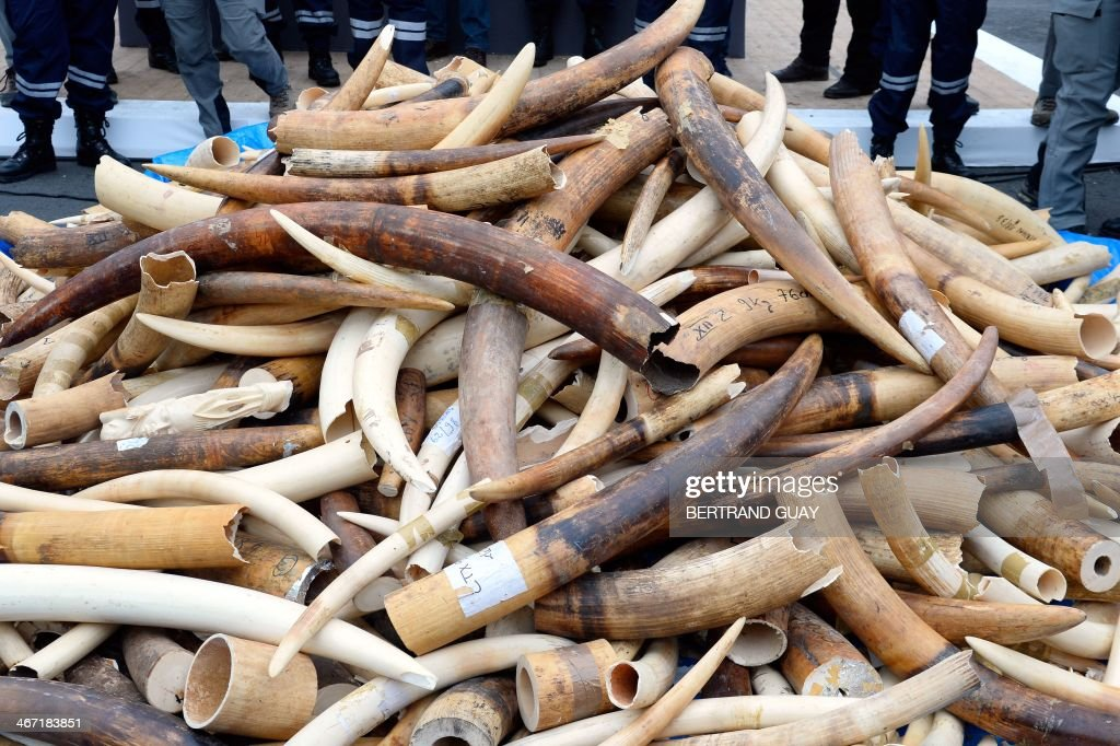 Three tonnes of illegal ivory are displayed on February 6, 2014 in front of the Eiffel tower in Paris. France fired the latest volley in the world's uphill battle against African elephant poaching, crushing three tonnes of illegal ivory at the foot of the Eiffel Tower and urging others to follow suit. The contraband with an estimated street value of 1 million euros ($1.4 million) was fed into a machine and ground, with the powder to be carted off and incinerated. AFP PHOTO / BERTRAND GUAY