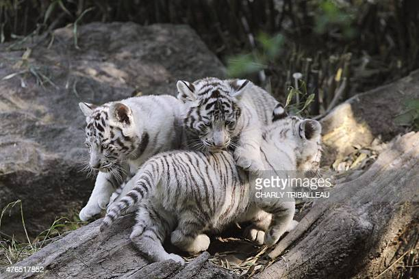 Three twomonthold baby white tigers play on a tree trunk at the Cerza zoo in HermivallesVaux northwestern France on June 10 2015 AFP PHOTO / CHARLY...