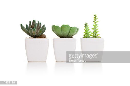 Three varieties of mini cactus in pots