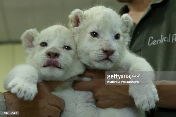 Three weeks old twin white lion cubs are seen during the fifth day of Lion Cub Premium Tour program at an animal hospital at the Himeji Central Park...