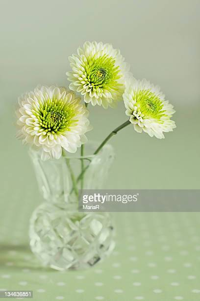 Three white chrysanthemum flowers in vase