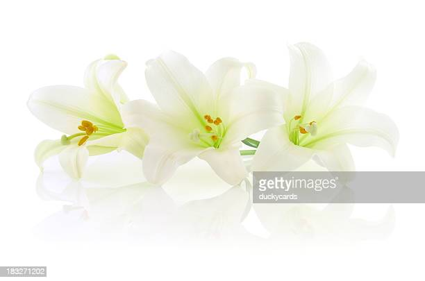 Three White Easter Lilies