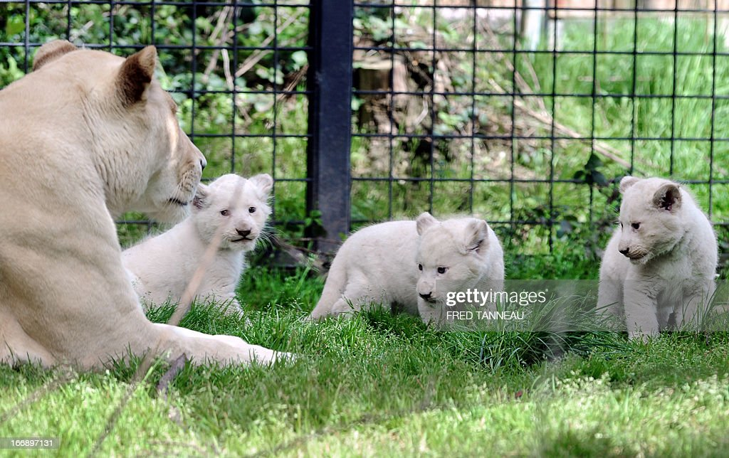 Three white lion cubs play in their pen next to their mother Sweleka (L) at the Pont-Scroff's zoo in Pont-Scorff, western France, on April 18, 2013. Three lion cubs, two males and a female, were born on February 23 and were shown for the first time to the public on April 17. AFP PHOTO / FRED TANNEAU