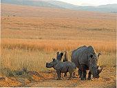 White rhinos isolated against bushveld and mountain background.