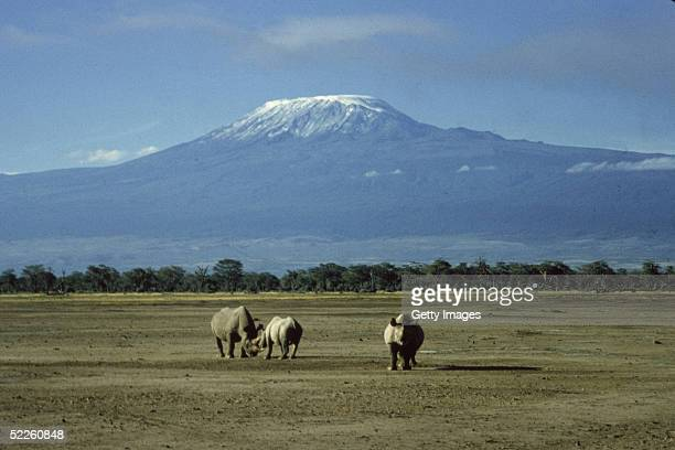 Three white rhinoceroses wander on the plain as the snow covered peak of Mount Kilimanjaro rises above them in the background Amboseli National Park...