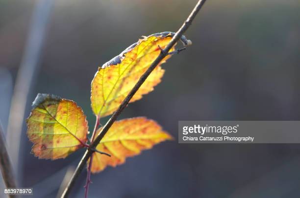 Three winter leaves on a branch