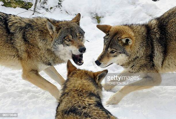 Three wolves play in the snow in their enclosure in the zoo in Worms western Germany on January 27 where temperatures are at minus ten degrees...