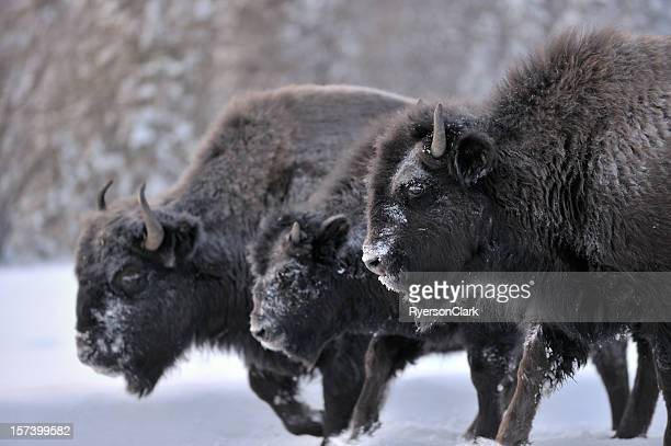 Three Woodland Bison