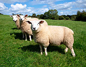 Woolly Sheep in a Green Field on a Sunny Summer Day