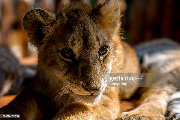 A three year old baby lion lies on a wooden table basking in the sunshine