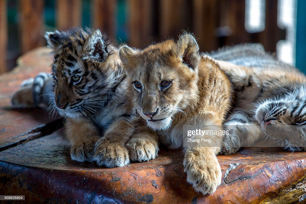 A three year old baby lion with two baby tigers lie together on a wooden table basking in the sunshine