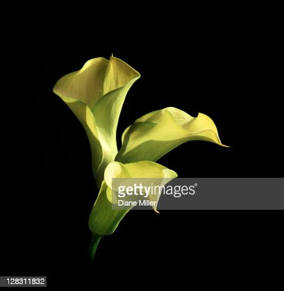 Three yellow calla lilies : Stock Photo