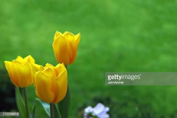Tres tulipanes amarillos