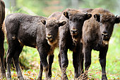 Three young Wisents (Bison bonasus) on a meadow