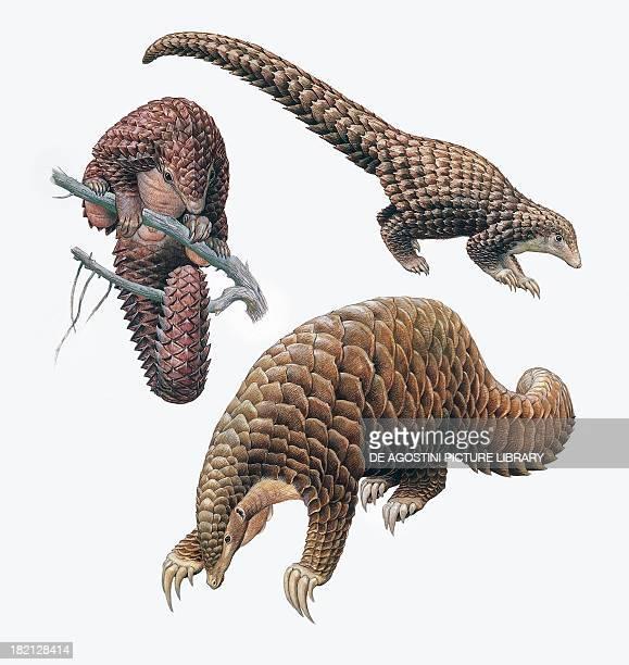 Threecusped or Tree pangolin Chinese Pangolin Giant Pangolin Manidae illustration