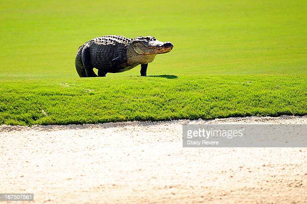 A threelegged alligator crosses the 12th fairway during the first round of the Zurich Classic of New Orleans at TPC Louisiana on April 25 2013 in...