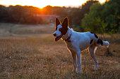 A three-legged rescue dog at sunset
