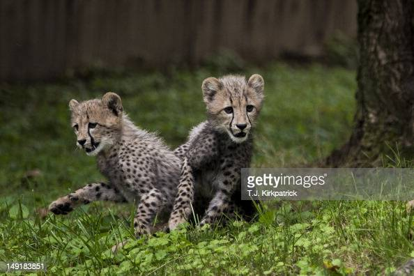 Threemonth old cheetah cubs make their public debut at the Smithsonian National Zoo on July 24 2012 in Washington DC Two cubs have been hand raised...