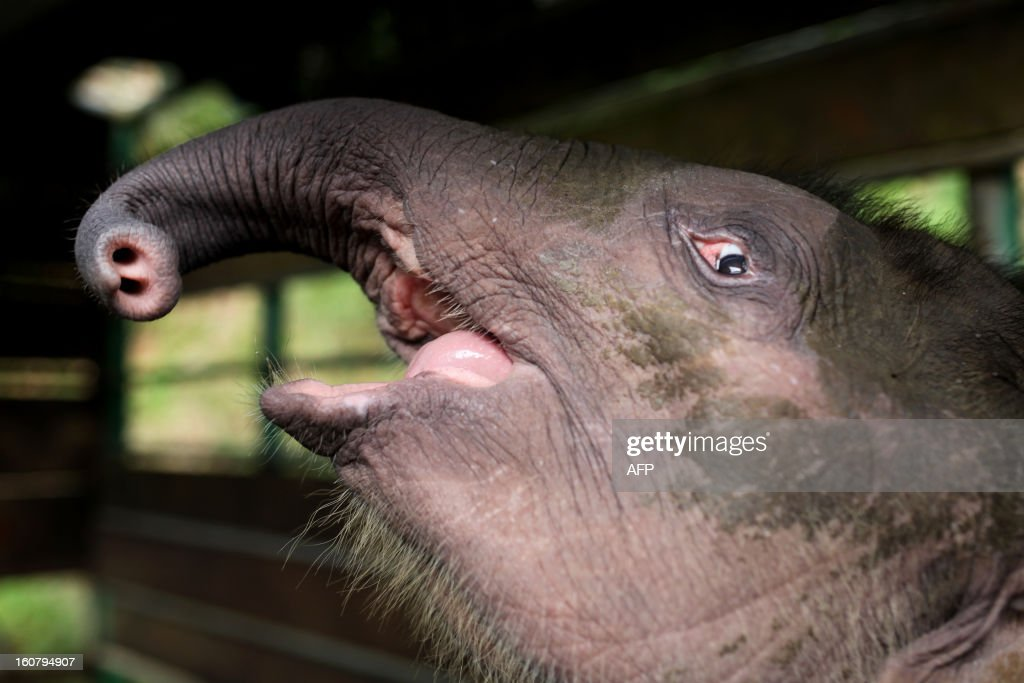 Three-month-old baby pygmy elephant 'Joe' reacts inside a temporary holding cage at Lok Kawi Wildlife Park in Kota Kinabalu in Malaysia's Sabah state on February 6, 2013. Malaysian authorities will offer a 50,000 ringgit (16,000 USD) reward for information on 14 rare Borneo pygmy elephants found dead last month if it is confirmed they were poisoned, officials said on February 6.
