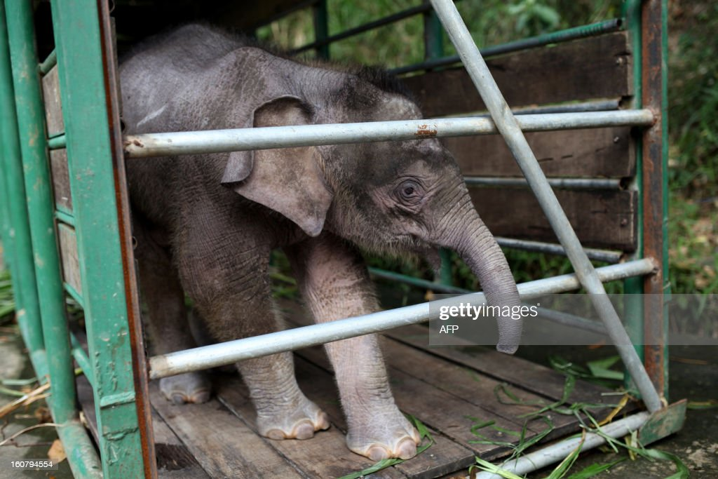 Three-month-old baby pygmy elephant 'Joe' stands inside a temporary holding cage at Lok Kawi Wildlife Park in Kota Kinabalu in Malaysia's Sabah state on February 6, 2013. Malaysian authorities will offer a 50,000 ringgit (16,000 USD) reward for information on 14 rare Borneo pygmy elephants found dead last month if it is confirmed they were poisoned, officials said on February 6.