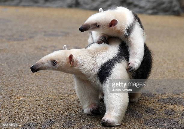 A threemonthold baby Southern Tamandua 'Konbu' lies on its mother Tae's back at Sunshine International Aquarium on July 7 2009 in Tokyo Japan A baby...