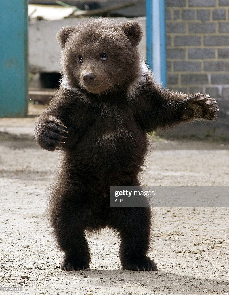 A threemonthold bear cub plays at the zoo in Stavropol on April 21 2010 AFP PHOTO / DANIL SEMYONOV