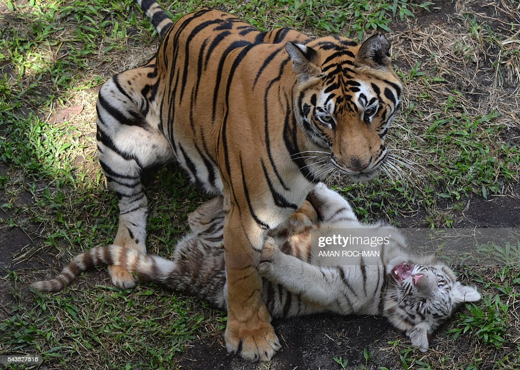A three-month-old Bengal tiger cub plays with its mother, Reva (L), at a zoo in Malang on June 29, 2016. Threatened by the illegal wildlife trade, habitat loss and conflict with humans, the Bengal tiger is currently endangered. / AFP / AMAN