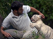 A threemonthold female white Bengal tiger cub plays with a zoo keeper in her enclosure at the Buenos Aires' Zoo in Argentina on April 17 2014 Captive...