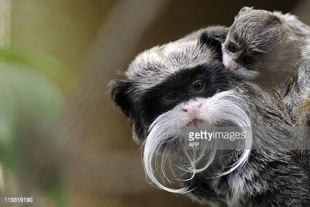 A threemonthold Pied tamarin is pictured with its mother in their enclosure on July 8 2011 at the zoo in Mulhouse northeastern France Every year...