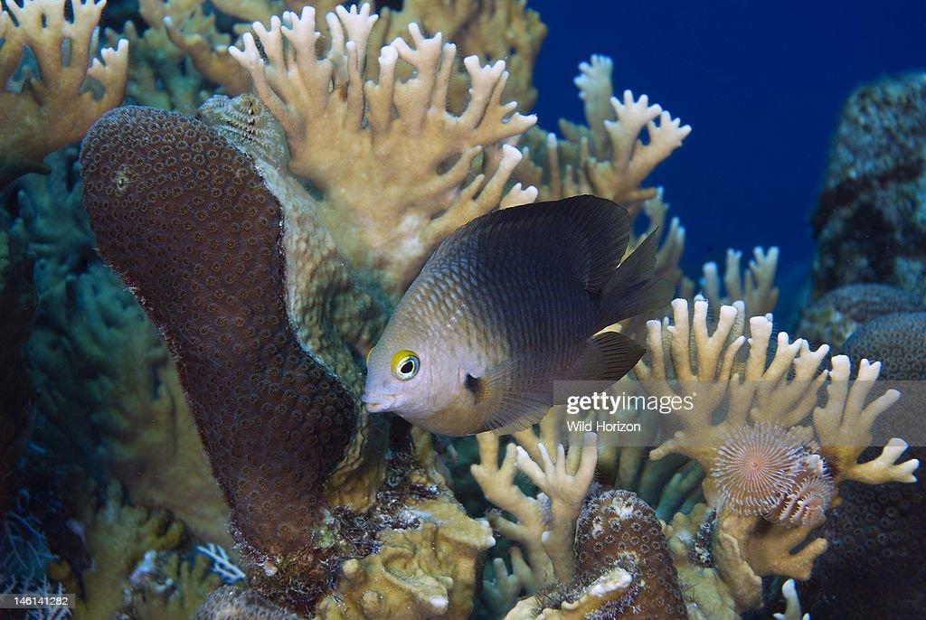 Threespot damselfish defending its territory Stegastes planifrons Curacao Netherlands Antilles
