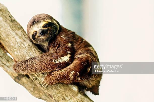 ThreeToed Sloth Amazon Brazil South America