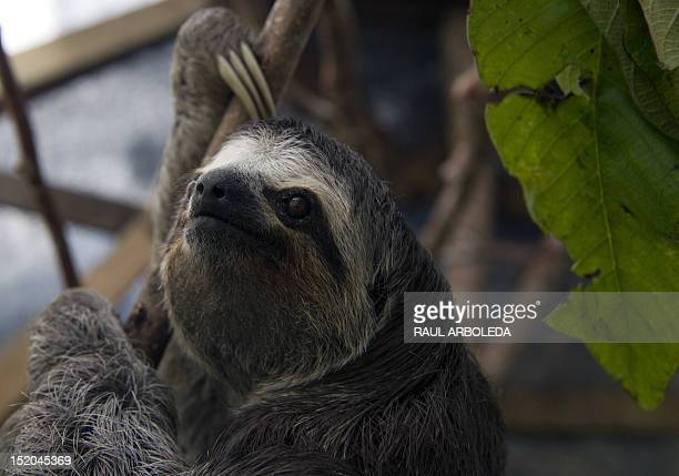 A threetoed sloth at the Aiunau Foundation in Caldas some 25 km south of Medellin Antioquia department Colombia on September 15 2012 Croatian...