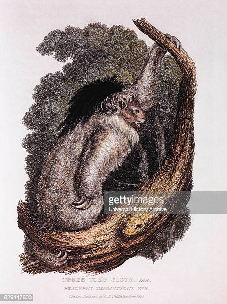 ThreeToed Sloth Bradypus Tridactylus HandColored Engraving from Original by Baron Cuvier 1825