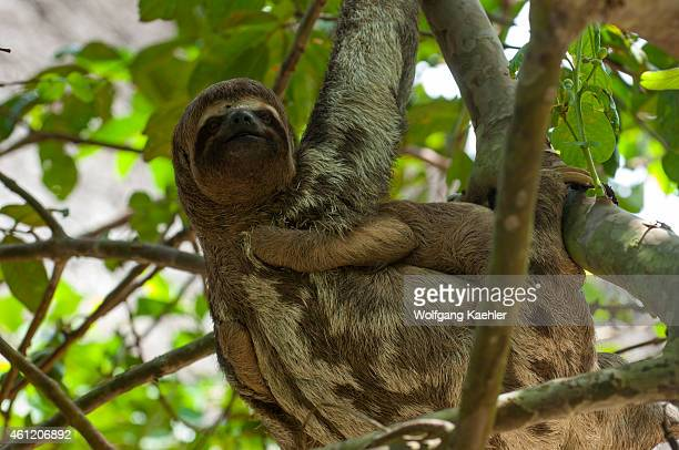 Threetoed sloth carrying a baby in a tree in the rain forest along the Ucayali River in the Peruvian Amazon River basin near Iquitos