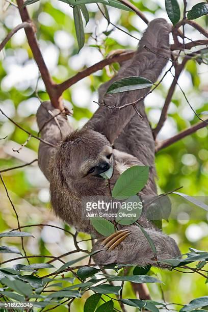 Three-toed Sloth Eating Leaf