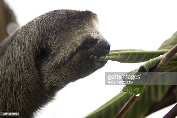 A threetoed sloth eats at the Aiunau Foundation in Caldas some 25 km south of Medellin Antioquia department Colombia on September 15 2012 Croatian...